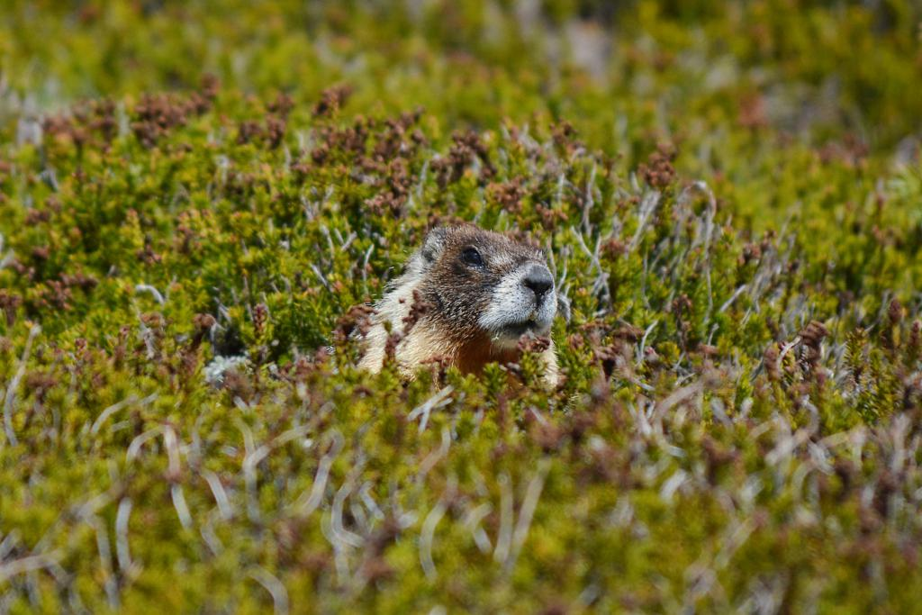 Yosemite National Park Yellow Bellied Marmot The Art of Travel