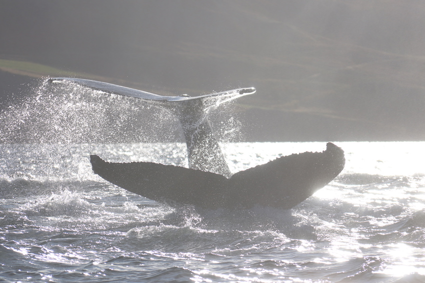 North Iceland Travel Guide The Art of Travel deep dive humpback whales whale safari