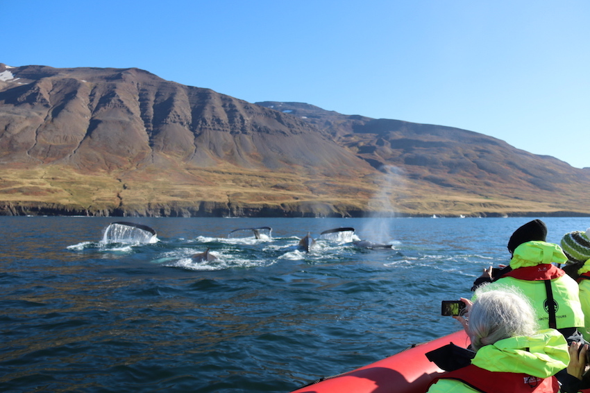 North Iceland Travel Guide The Art of Travel humpback whales rib boat