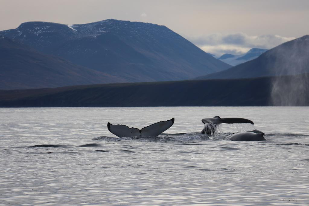 North Iceland Travel Guide The Art of Travel playful humpback whales arctic circle whale safari