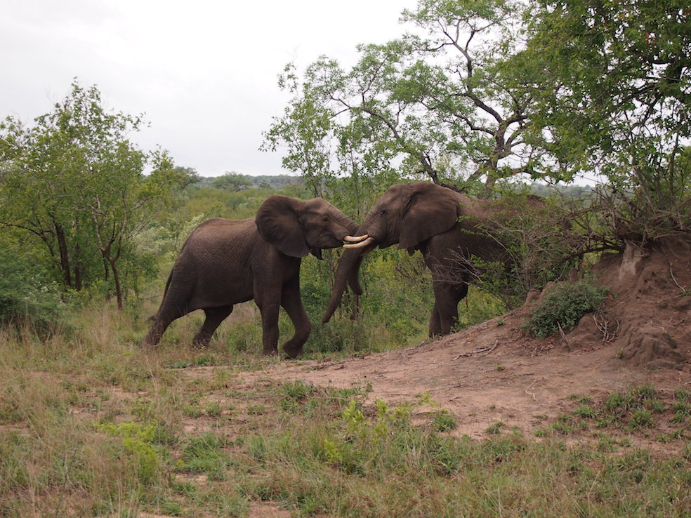 Safari in a private game reserve in South Africa The Art of Travel The Big Five elephants fighting playing