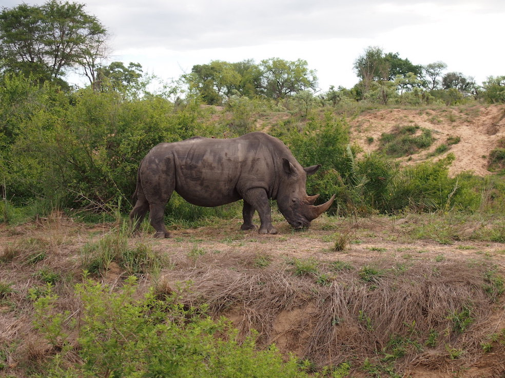 Safari in a private game reserve in South Africa The Art of Travel The Big Five rhinoceros