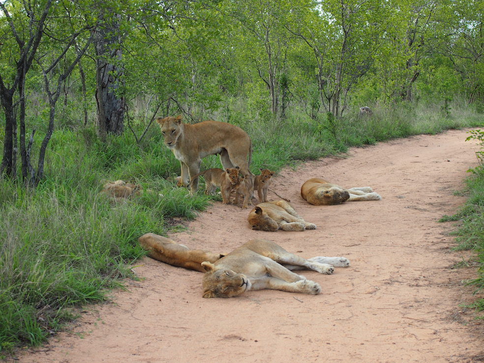 Safari in a private game reserve in South Africa The Art of Travel The Big Five pride of lions cubs