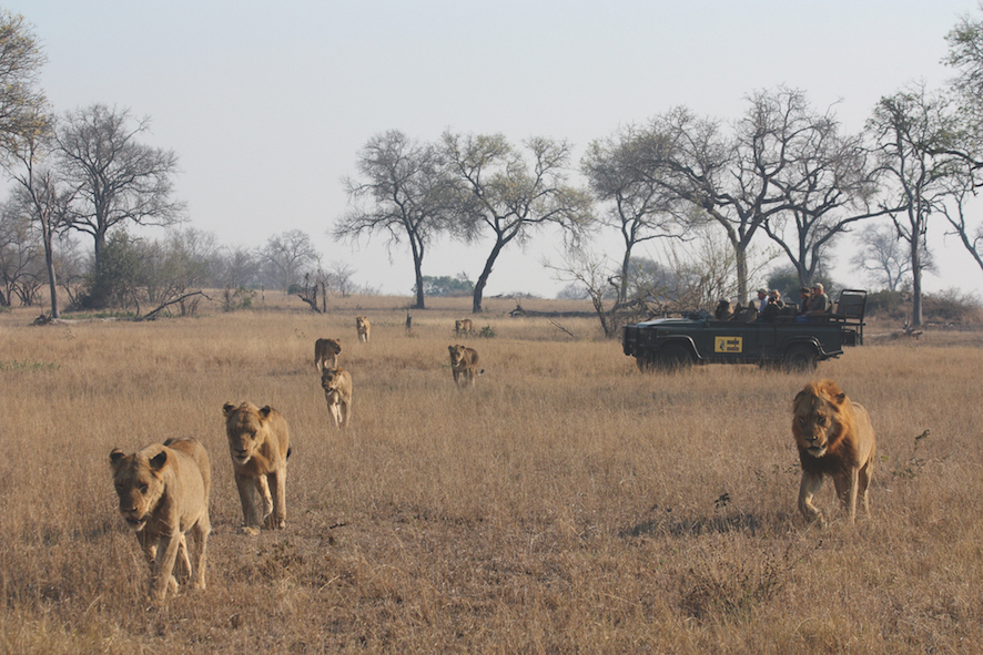 Safari in a private game reserve in South Africa The Art of Travel The Big Five pride of lions
