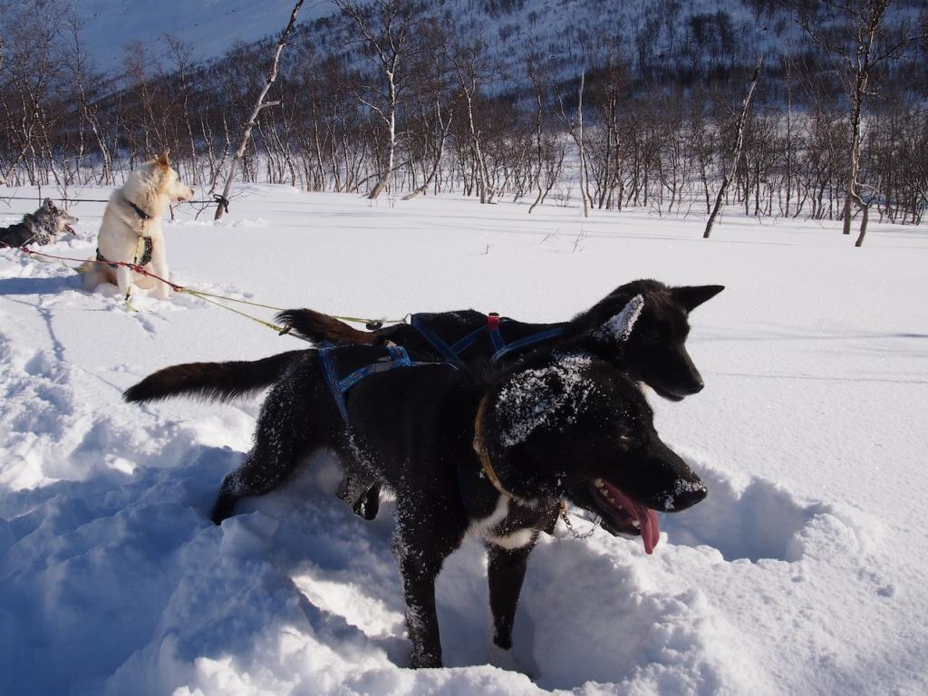 Travel guide to Tromsø in Norway The Art of Travel dogsledding huskies