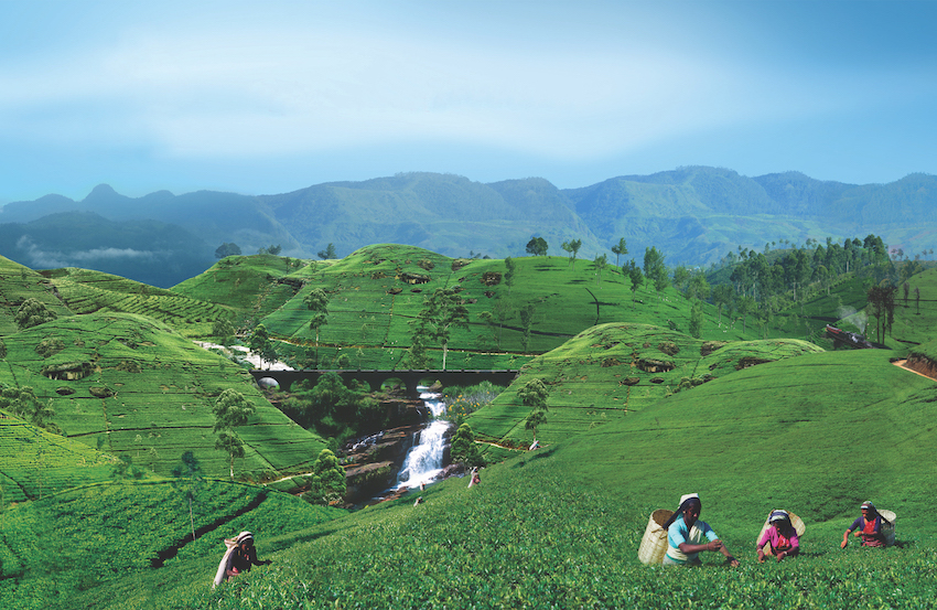 Why you should visit the highlands of Sri Lanka The Art of Travel Tea Plucking green