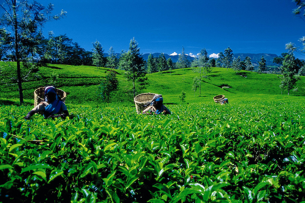 Why you should visit the highlands of Sri Lanka The Art of Travel Tea Plucking