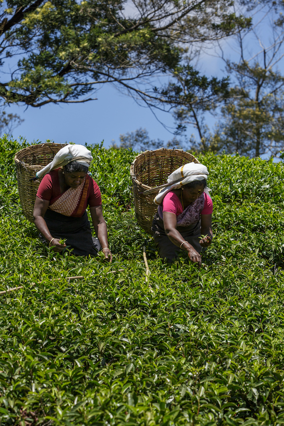 Why you should visit the highlands of Sri Lanka The Art of Travel tea pluckers